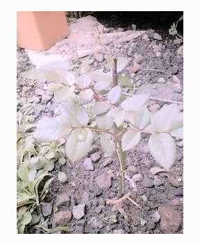 薔薇の苗をいただきました(^^)v