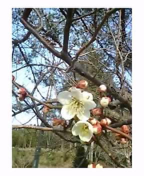 飯能の春♪梅の花は今一分咲き♪