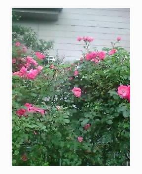 ウチの庭の薔薇☆満開のヤツ♪