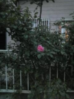 ウィットロック庭園開花情報5-18