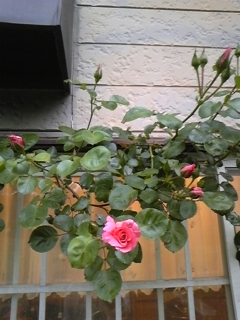 ウィットロック庭園薔薇情報5*20