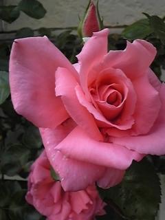 薔薇とショパン