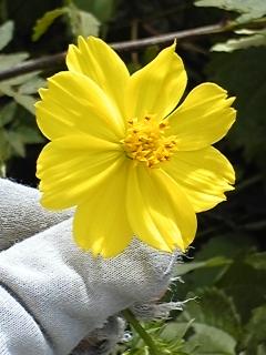 黄色いコスモス☆