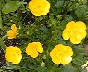 薔薇とハーブの次にクレマチスが好きなTOEIC<br />  満点講師ウィットロック慶子とは…