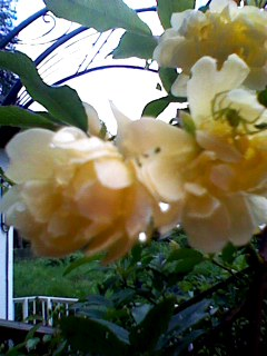 ウィットロック庭園☆もっこう薔薇
