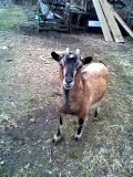 山羊の赤ちゃんが産まれる!